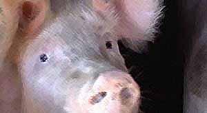Чума свиней.