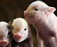 """""""Племзавод Индустриальный""""""""  планирует построить три свинокомплекса в других районах Кубани"""