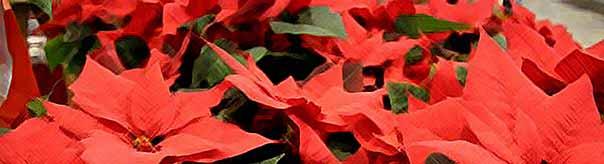 Пуансетия (пуансеттия), рождественская звезда.