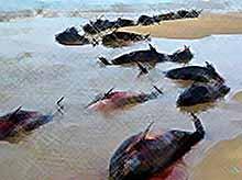 Прокуратура проводит расследование по делу о мертвых дельфинах на побережье Анапы.