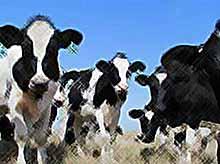 На Кубань поставят  30 тыс коров из Америки