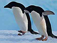 Как вы думаете пингвины летают?