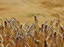 Впервые кубанские аграрии вырастили пшеницу первого и второго классов качества