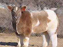 В Америке вывели уникальную породу плюшевых коров