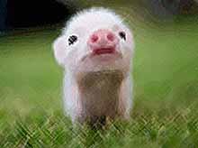 Биологи: свиньи тоже бывают оптимистами и пессимистами