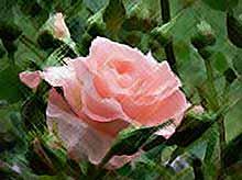 Правильно сажаем и удобряем розы.