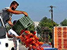 Россельхознадзор уничтожил почти 9 тысяч тонн санкционных продуктов за полтора года