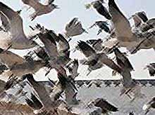Экологи : на Кубани обнаружены сотни трупов перелетных птиц