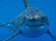 Акула -людоед напала на людей  в Приморье. (видео)