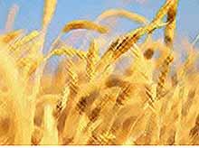 Россия планирует обогнать США по экспорту пшеницы в следующем сезоне