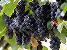 В Краснодарском крае собрали рекордный урожай винограда
