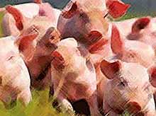 Ввоз и вывоз свиней с территории Кубани ограничат из-за вспышек АЧС