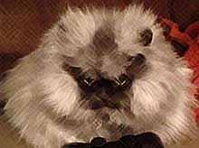 Полковник Мяу - самый суровый и брутальный  кот в мире  (фото,видео)