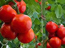 В Краснодарском крае построят крупный тепличный комплекс за 3,5 млрд рублей для производства помидоров