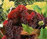 Кубань из-за холодов может потерять будущий урожай винограда