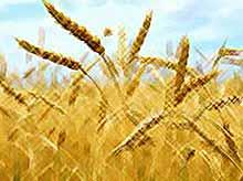 Фермеры  Кубани и юга России договорились о минимальной цене на зерно.