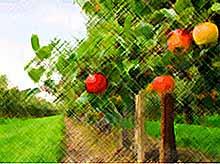 На Кубани создадут высокоурожайный сад  за 600 млн рублей