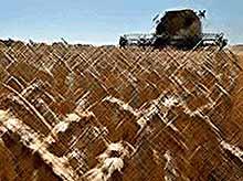 Кубань соберет рекордный урожай в 13,8 млн т