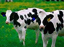 Краснодарский край первым в России принял  закон о животноводстве