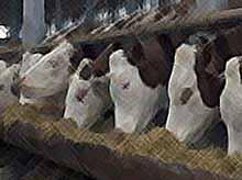 На Кубани поголовье скота мясных пород увеличилось в 3 раза