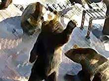 Медведи - супер попрошайки! (ВИДЕО)
