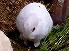 В Японии, в зоне Фукусимы, родился безухий кролик.(видео)