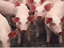 На Кубани из-за АЧС в 2016 году уничтожили более 80 тыс. свиней