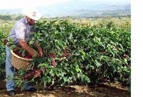 Кофе исчезнет через 70 лет